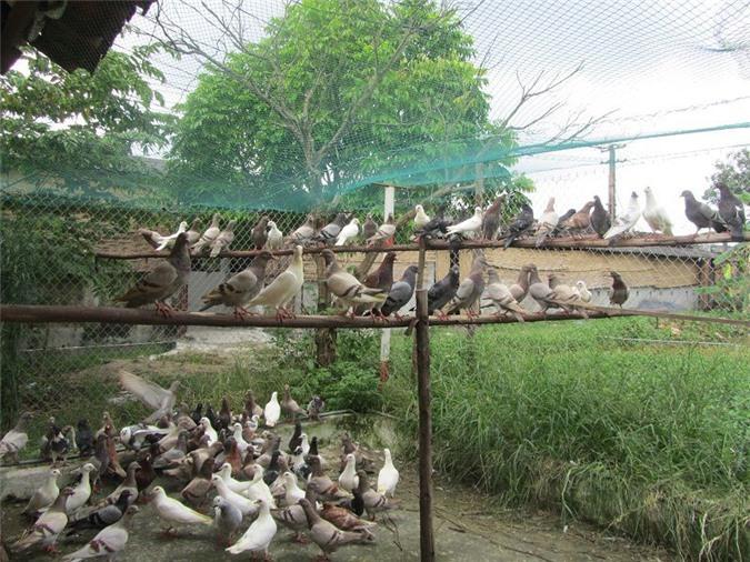 Chuồng chim bồ câu. Hướng dẫn làm chuồng nuôi chim bồ câu