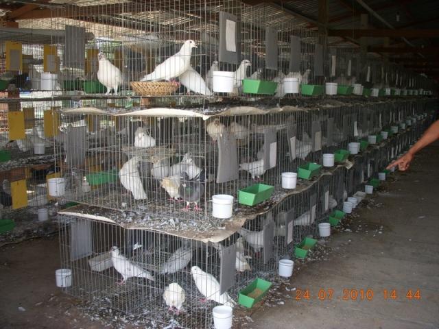Kỹ thuật nuôi chim bồ câu Pháp